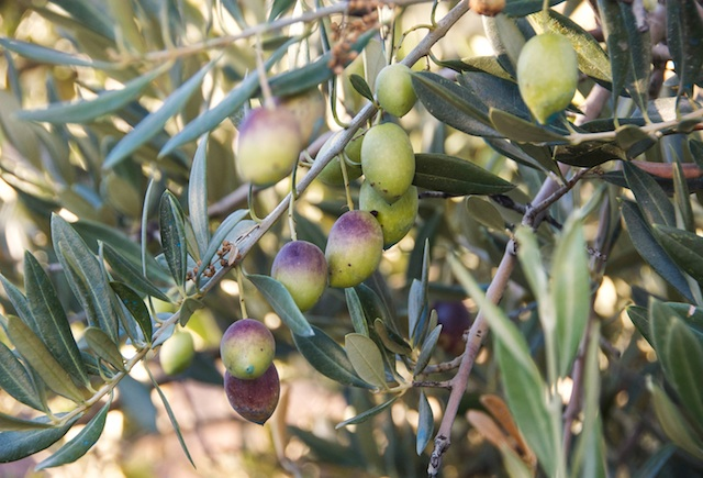 El aceite de oliva virgen extra: el camino de la aceituna